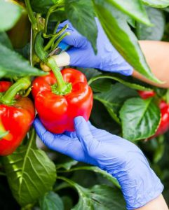 Iranian Bell Pepper for export